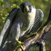 Magnificent falcon