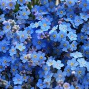 Magnificent forget-me-nots