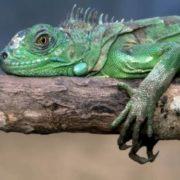 Magnificent iguana