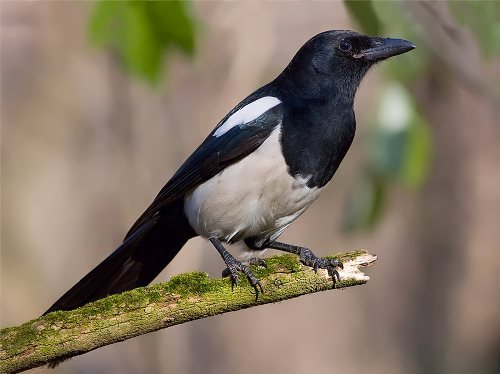 Magpie - intelligent bird
