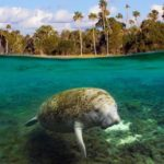 Manatee – Mermaids of Yore?