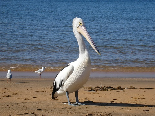 Pelican – wonderful water bird