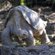 Pinta Island Tortoise died out on June 24, 2012