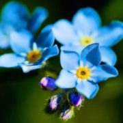 Stunning forget-me-nots