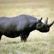 Western Black Rhinoceros became extinct in 2011