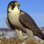 Wonderful falcon