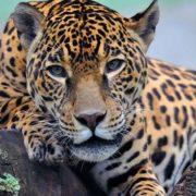 Amazing jaguar
