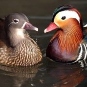 Attractive ducks