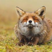 Attractive fox