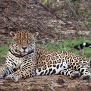 Attractive jaguar