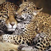 Beautiful jaguars