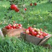 Charming apples