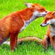 Charming foxes