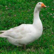 Cute goose
