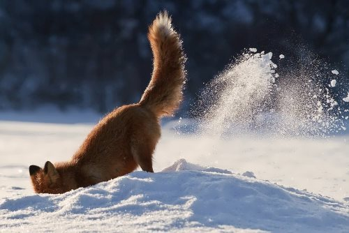 Digging fox