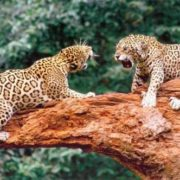 Fighting jaguars