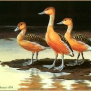 Fulvous Whistling Ducks by Maynard Reece