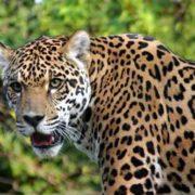 Graceful jaguar
