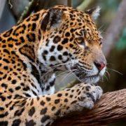 Interesting jaguar