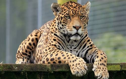 Jaguar – big spotted cat