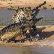 Jaguar attacks Caiman