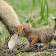 Little Fox Running For Mom