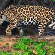 Lovely jaguar
