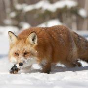 Magnificent fox