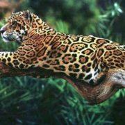 Magnificent jaguar
