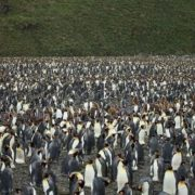Penguins migration
