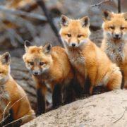 Pretty foxes