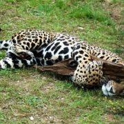 Pretty jaguar