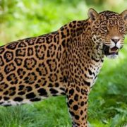 Wonderful jaguar