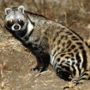 Amazing civet