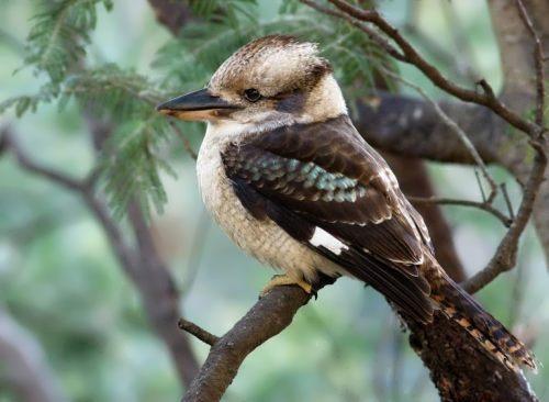 Amazing kookaburra