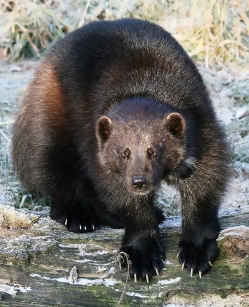 Amazing wolverine
