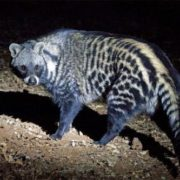 Attractive civet