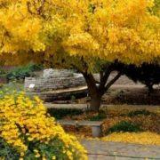 Attractive ginkgo tree