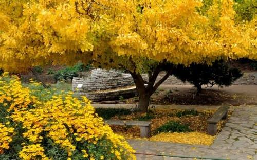 Attractive ginkgo tree