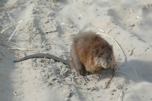 Awesome muskrat