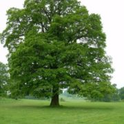 Awesome oak