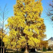 Beautiful ginkgo tree