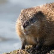 Beautiful muskrat