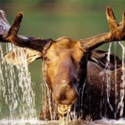 Charming elk