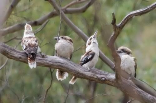 Charming kookaburras
