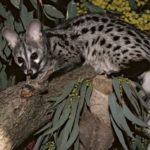 Civet – cute animal