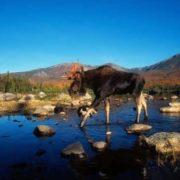 Cute elk