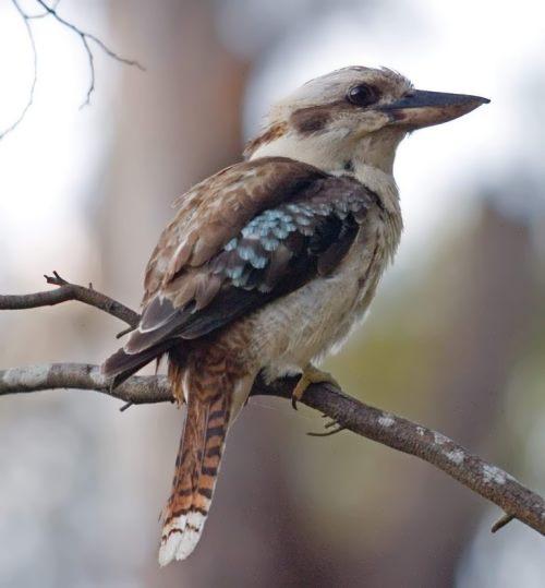 Cute kookaburra