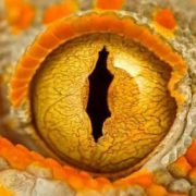 Eye of a gecko