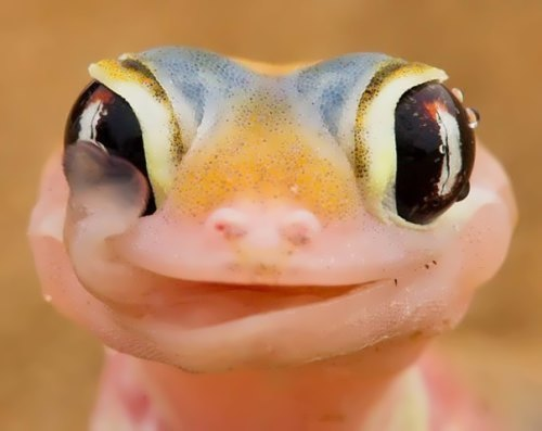 Gecko - small lizard